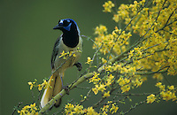 Green Jay, Cyanocorax yncas, adult on blooming Paloverde (Parkinsonia texana), Starr County, Rio Grande Valley, Texas, USA, March 2002