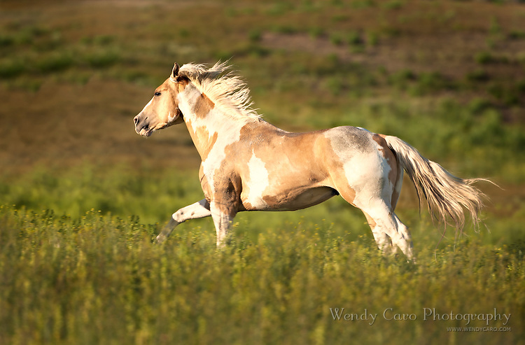 Palomino paint stallion galloping across a meadow in late afternoon sun, eastern Oregon.