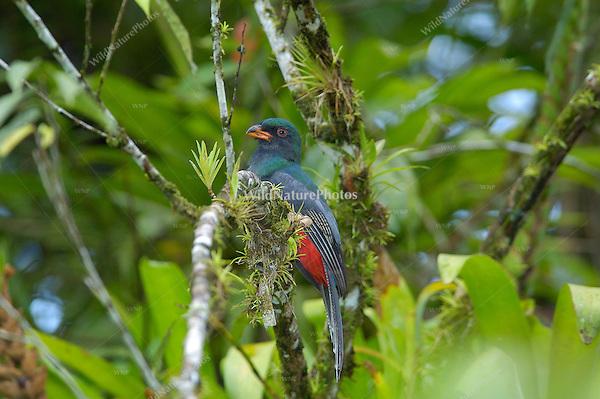 A female Slaty-tailed Trogon, Trogon massena; La Selva, Costa Rica