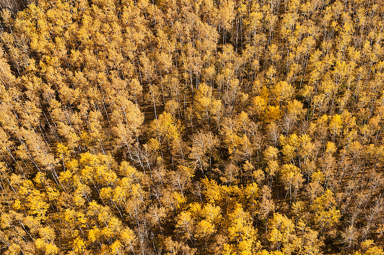 Boreal forest along the MacKay river in northern alberta near the laberta tar, oil, sands.