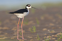 Black-necked Stilt - Himantopus mexicanus - Adult male