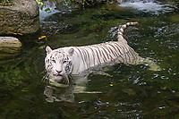 white Bengal tiger, Indian tiger, Panthera tigris tigris ( endangered ), found in India and Southeast Asia (c)