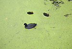 Moorhen Gallinula bird with chicks swimming in water covered in green pond weed  Rotterdam Netherlands