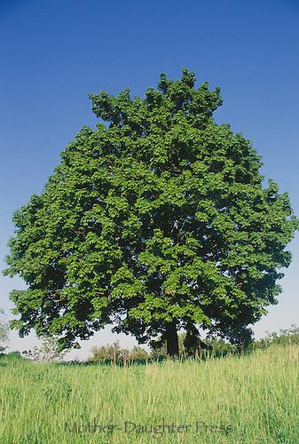 Sugar maple tree, Acer saccharum, in summer