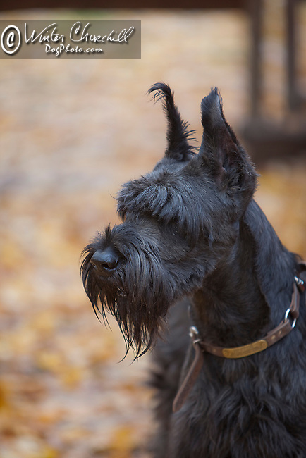 Giant Schnauzer Shopping cart has 3 Tabs:<br /> <br /> 1) Rights-Managed downloads for Commercial Use<br /> <br /> 2) Print sizes from wallet to 20x30<br /> <br /> 3) Merchandise items like T-shirts and refrigerator magnets