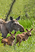 Cow moose with twin calves in the spring green grasses, Alaska.