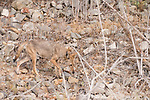 Lake Hodges, Escondido, San Diego, California; a Coyote walking along the hillside above the lake in early morning light