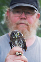 Wildlife biologist banding and conducting research on Pygmy Owls, holding young owl, Willacy County, Rio Grande Valley, Texas, USA