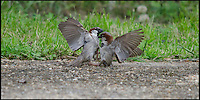 BNPS.co.uk (01202 558833)<br /> Pic: TomHadley/BNPS<br /> <br /> ***Please Use Full Byline***<br /> <br /> Two sparrows show their rough and tumble during a scrap.<br /> <br /> A pair of humble house sparrows show their vicious side as they clash in an avian turf war. <br /> <br /> The two male sparrows exchanged blows with their beaks and claws as one pinned the other to the ground in a violent tussle over territory.<br /> <br /> The rarely-seen behaviour was captured on camera by wildlife photographer Tom Hadley who spotted the action unfolding on his garden path in Brockenhurst, Hants.