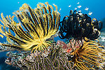 Great Barrier Reef, Australia; a small school of juvenile reef fish swim above multi colored feather stars clinging to the coral reef