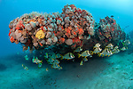 A school of Porkfish, Anisotremus virginicus, hide underneath a coral and sponge encrusted reef offshore Jupiter, Florida, United States