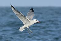 Audouin's Gull - Larus audouinii - sinmmer adult
