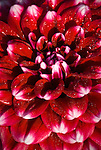 Dahlia - Checkers, Swan Island Dahlias, Oregon