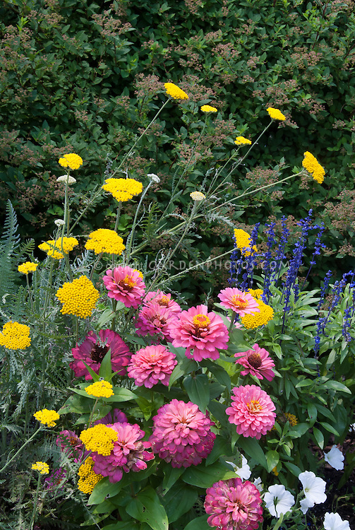 Annual flowers with perennial achillea yarrow plant flower stock annuals and perennial flowers planted together in the garden zinnias pink magellan coral mightylinksfo