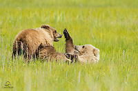 Brown Bear (Ursus arctos) cub siblings play-fighting on the meadow of Lake Clark National Park.  The lighter-colored, larger cub let its sibling beat on it for about 15 minutes.  Then the lighter-colored cub had had enough and put a stop to that nonsense.