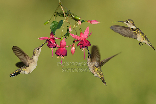Black-chinned Hummingbird (Archilochus alexandri), adult females feeding on blooming Fuchsia, Hill Country, Texas, USA