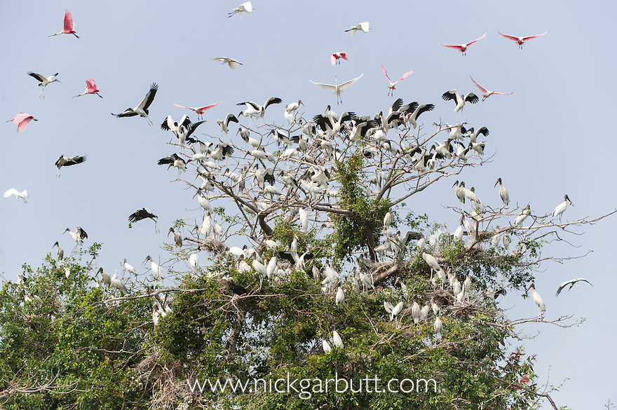 American Wood Storks (Mycteria americana), Roseate Spoonbills (Ajaia ajaja) and Great Egrets (Ardea alba) at mixed roost on the edge of the Paraguay River. Taiama Ecological Reserve, Pantanal, Brazil.