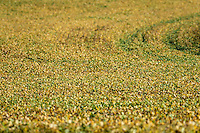 Crop of soybean plants, Lancaster, Pennsylvania, USA