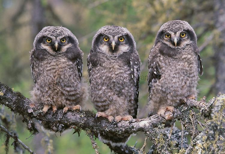 Northern Hawk Owl ( surnia ulula )