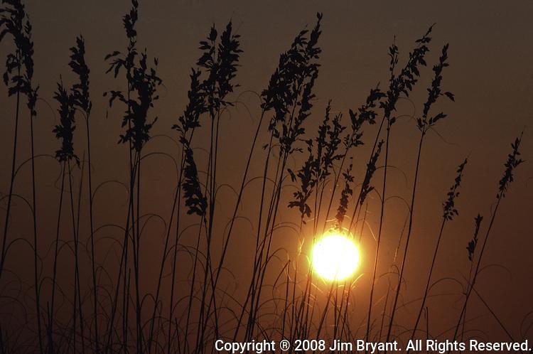 Sunset silhouettes Sea Oaks in Pensacola, Florida.   (Jim Bryant Photo).....