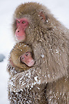 Jigokudani National Monkey Park, Nagano, Japan<br /> Japanese Snow Monkeys (Macaca fuscata) at Jigokudani monkey park in the Yokoyu River valley, snow covered mother with young monkey