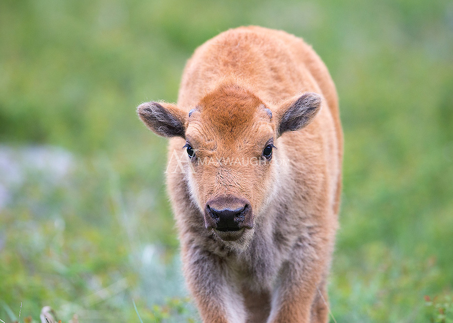 "Bison calves are nicknamed ""little red dogs."""