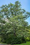 Black Oak tree at the Arnold Arboretum in the Jamaica Plain neighborhood, Boston, Massachusetts, USA