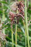 Dragonfly - Miscanthus sinensis Zwergelephant