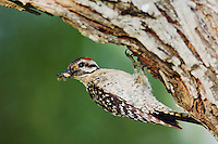 Ladder-backed Woodpecker, Picoides scalaris, male at nesting cavity with insect prey, Willacy County, Rio Grande Valley, Texas, USA, June 2006