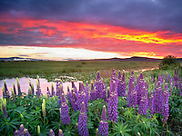 Lupine and sunrise in the Klamath Marsh National Wildlife Refuge, Oregon