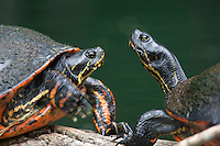Florida Red-bellied Turtle; Pseudemys nelsoni; basking; FL, Marion Co., Silver River