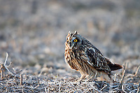 01113-011.16 Short-eared Owl (Asio flammeus) on ground near Prairie Ridge State Natural Area, Marion Co., IL