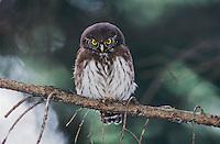 Eurasian Pygmy-Owl, Glaucidium passerinum, young, Oberaegeri, Switzerland, Europe