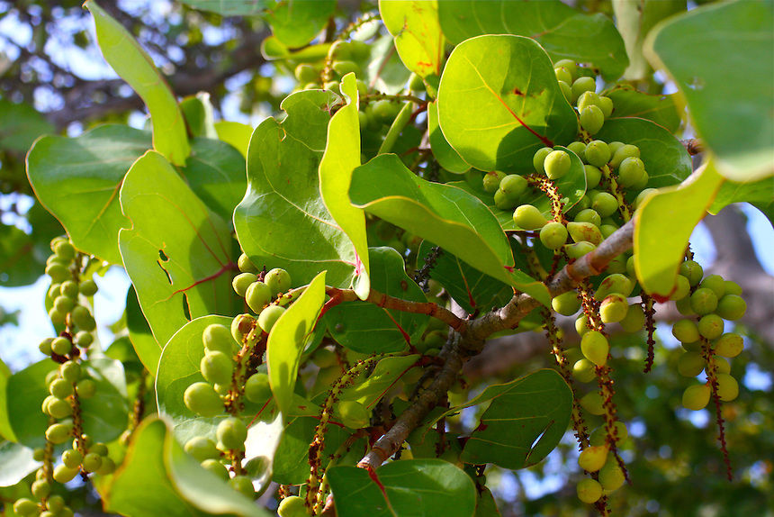 sea grapes  growing next to the beach