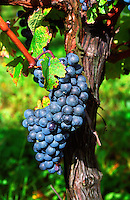 A bunch of grapes ripe merlot on a vine with leaves leaf in Bergerac, near Bordeaux, Bordeaux Gironde Aquitaine France Europe