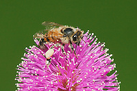 Honey Bee (Apis mellifera), adult feeding on Sensitive Briar (Mimosa nuttallii), Sinton, Corpus Christi, Coastal Bend, Texas, USA