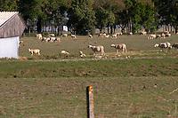 Sheep neat Pauillac, the source of l'agneau de Pauillac. Medoc. Bordeaux, France