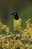 Green Jay, Cyanocorax yncas, adult on blooming Blackbrush Acacia (Acacia rigidula)Lake Corpus Christi, Texas, USA