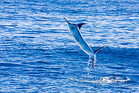 striped marlin, Kajikia audax, free jumping, Baja California, Cabo San Lucas, Mexico, Pacific Ocean