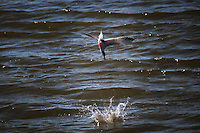 Two images, taken a fraction of a second apart, combined to show a tern in a mid-air dive, then its splash into the water. Done over and over, searching for food.