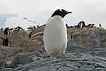 Portrait of a Gentoo penguin in Neumayer Channel, Antarctica.