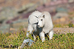 Mountain goat kid. Glacier National Park, Montana.
