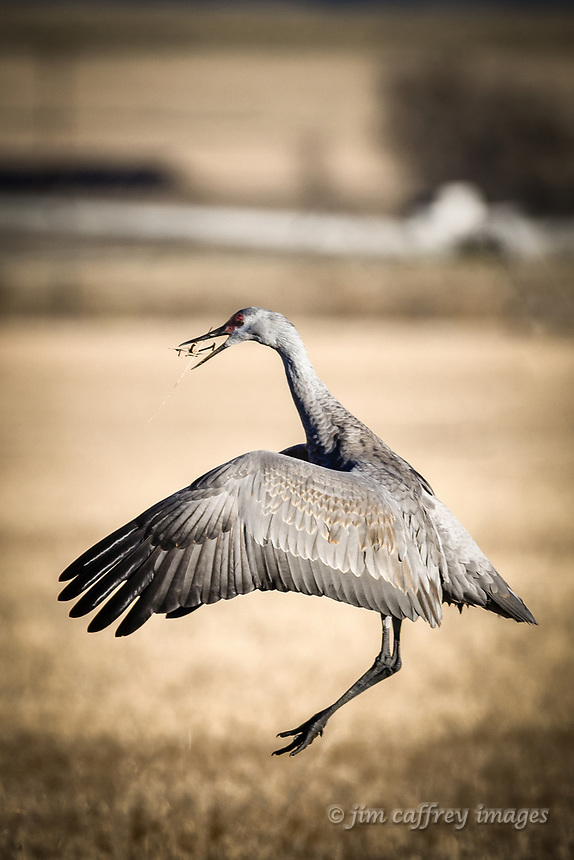 "A Sandhill Crane exhibiting ""stick tossing"" courtship behavior at Monte Vista National Wildlife Refuge in Colorado's San Luis Valley."