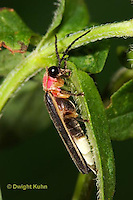 1C24-772z  Pyralis Firefly - Lightning Bug - Male - Photinus spp.