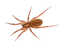 Agroeca inopina, Liocranidae. Female. Ground living nocturnal hunting spider. Warm, dry places eg dunes.