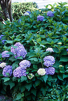 HYDRANGEA FLOWER COLOR VARIES WITH SOIL pH.<br /> In Soil With Acidic pH.