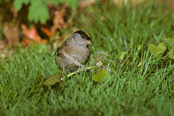 Golden-crowned Sparrow eating dandelion seeds.  Pacific Northwest.  Spring.