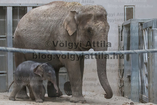 Three days old captive born baby elephant (front) is introduced to members of the media the first time after its mother Angele (back) gave birth on 8th November in the City Zoo in Budapest, Hungary on Nov. 10, 2017. ATTILA VOLGYI