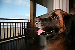 Scenes of Leonberger Murphy enjoying Cannon Beach, Oregon