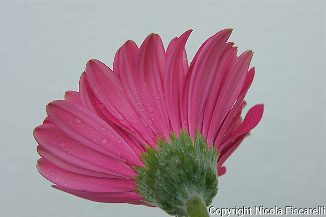 A pink Gerbera daisy with water droplents on the bottom side of the flower.